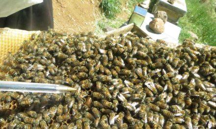 در اجتماع زنبورها دنبال چه چیزی باید بود ؟
