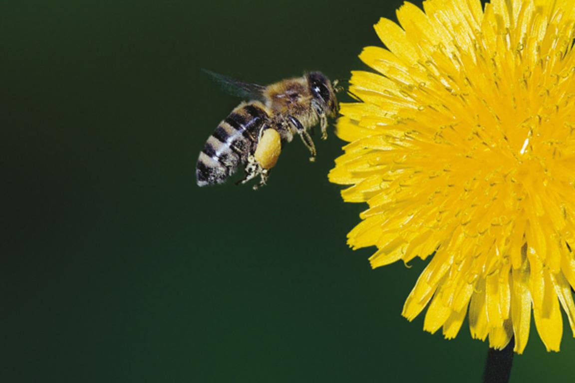 تغذیه زنبورعسل