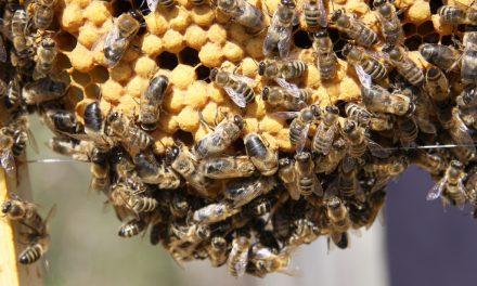 تغذيه زنبور عسل