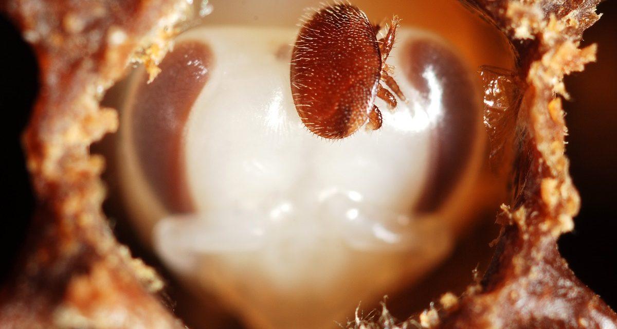بيماری ها و آفات زنبور عسل