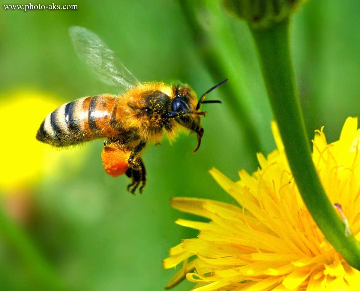 زنبور عسل نر
