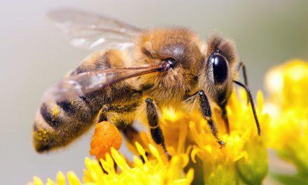 انواع نژاد زنبورعسل