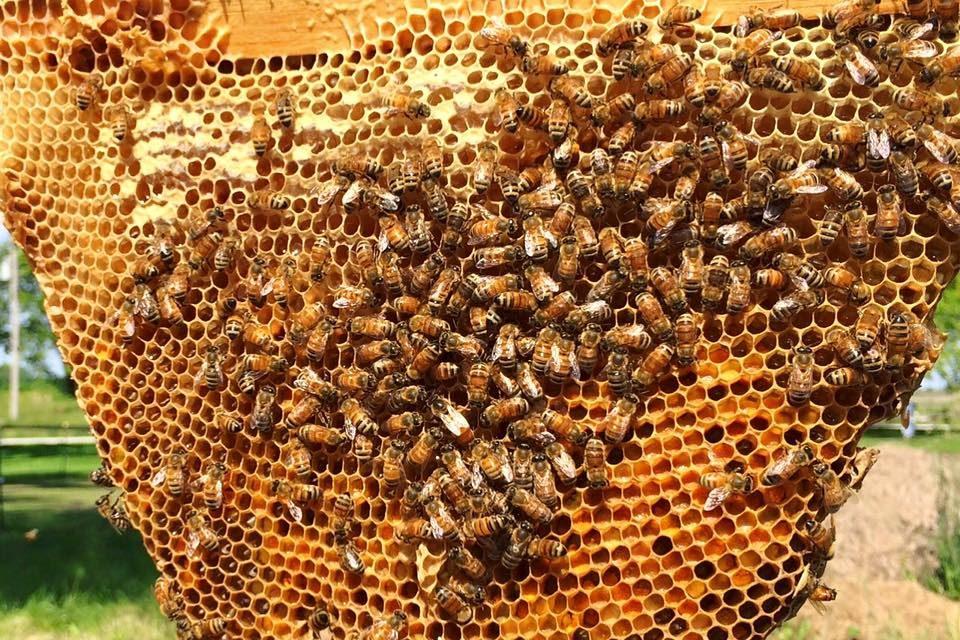 زنبورداری در تابستان : تولید عسل