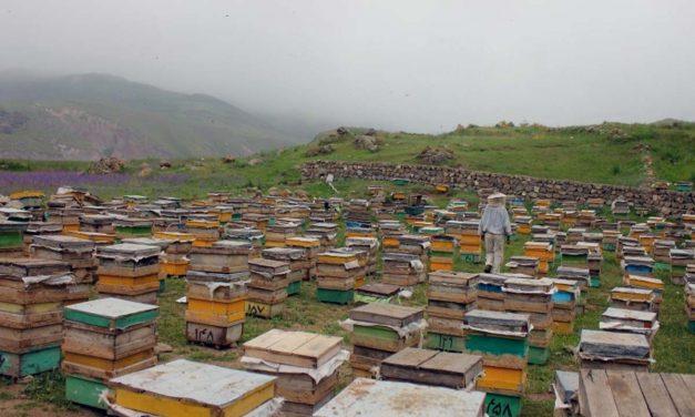 محل استقرار کندوها و زنبورستان ( تغذیه زنبورها )